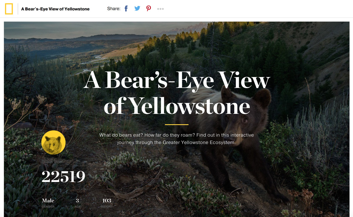 A bear's eye view of yellowstone