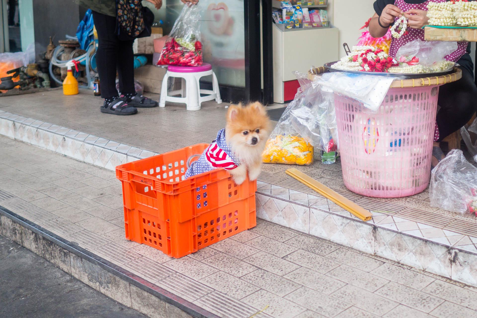 Bangkok pomerian
